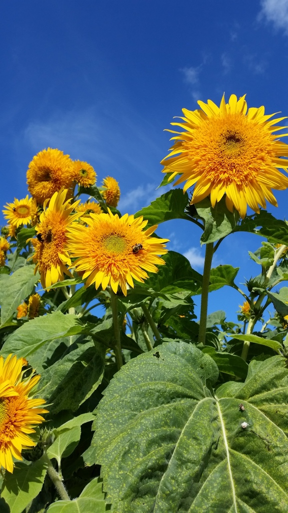 Sunflowers in the Sky!